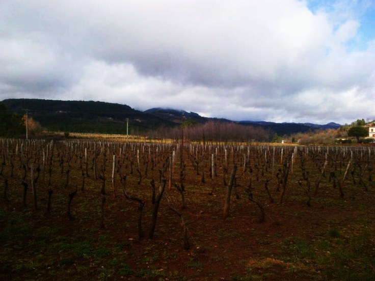 French Vines hibernating for the winter